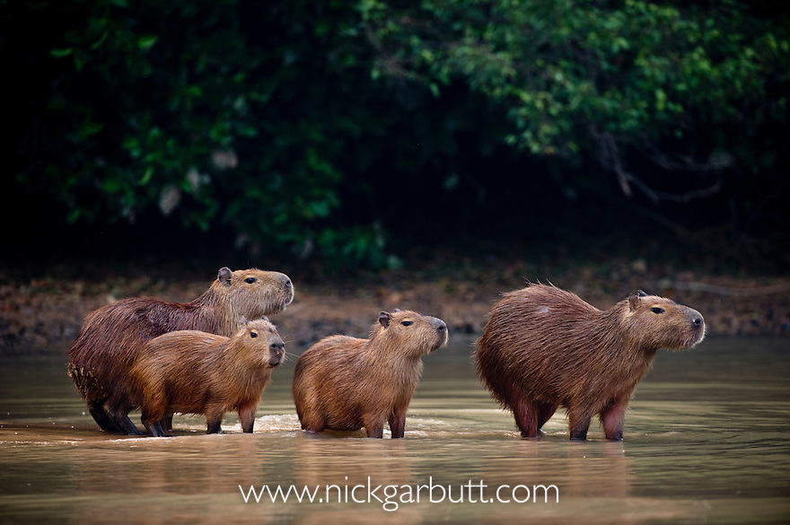 Capybara (Hydrochaeris hydrochaeris) along the Pixiam River, Northern Pantanal, Brazil (World's largest rodent).