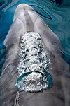 Mexico, Baja California Sur, Sea of Cortez, bottlenose dolphin (Tursiops sp.)
