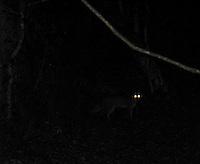 Grey Fox in the darkness at Hopkins Prairie, Floria.