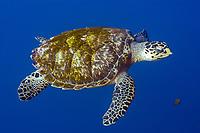 hawksbill sea turtle, Eretmochelys imbricata, in open water, St. Peter and St. Paul rocks, Brazil, Atlantic