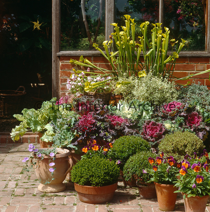 Variegated cabbages, mixed myrtles, clipped box, datura and pansies on the brick terrace in front of the greenhouse