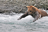 Brown bear fishing at McNeil River Falls by leaping into the river  in Alaska's McNeil River State Game Sanctuary.