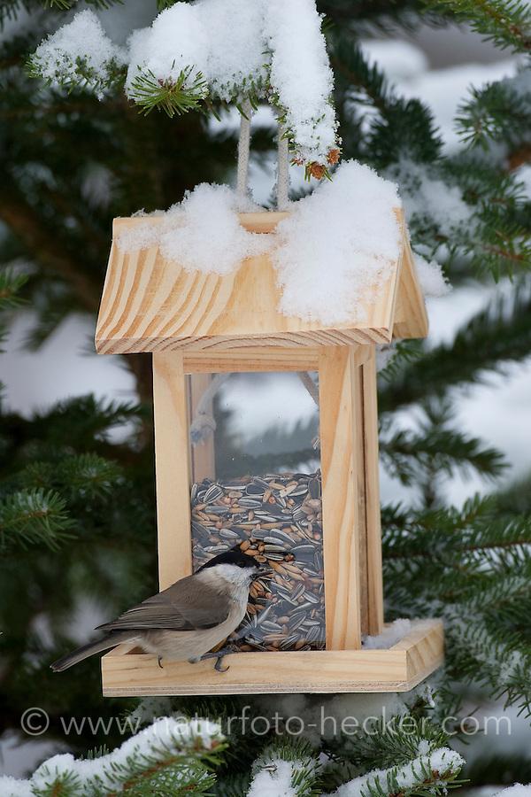 Sumpfmeise, Sumpf-Meise, an der Vogelfütterung, Fütterung im Winter bei Schnee, mit Körnern gefüllten Futtersilo, Winterfütterung, Meise, Poecile palustris, Parus palustris, marsh tit