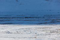 Flock of willow ptarmigan on the snowy tundra of Alaska's Arctic.