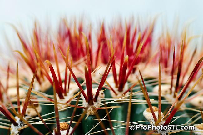 Ferocactus chrysacanthus