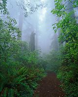 Redwood National Park, CA<br /> Damnation Creek trail leads thr a foggy redwood forest, Del Norte Coast Redwoods State Park
