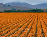 Flower Farm, Los Osos, San Luis Obispo County, California