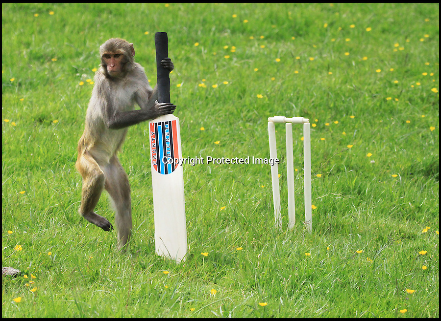 BNPS.co.uk (01202 558833)<br /> Pic: IanTurner/BNPS<br /> <br /> Promising left hander...<br /> <br /> Lets hope the umpiring of this summers Ashes is a little better than was displayed by the infamous Longleat monkeys yesterday as they prepared for the upcoming battle with a little bit of Ape Ashes.<br /> <br /> Despite managing to set up the stumps the perplexed primates were soon clean bowled - but at least it gave visitors to the Wiltshire attraction some respite from the usual mayhem the parks Rhesus Macaques dish out to their cars.