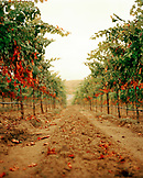 USA, California, rows of vines, Sabon Estate Winery, Gold Country (B&W)