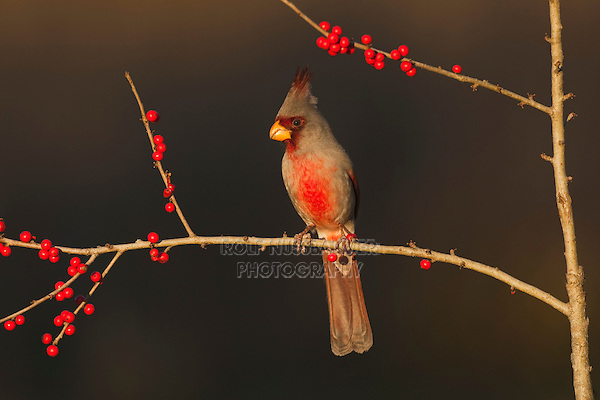 Pyrrhuloxia (Cardinalis sinuatus), male eating Possum Haw Holly (Ilex decidua) berries, Starr County, Rio Grande Valley, South Texas, USA