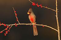 Pyrrhuloxia (Cardinalis sinuatus), male eating Possum Haw Holly (Ilex decidua) berries, Starr County, Rio Grande Valley, South Texas, USA