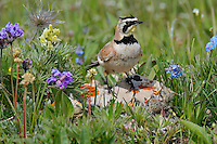 Male Horned Lark or Shore Lark (Eremophila alpestris) at nest.  Western U.S., Summer.