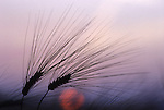 Europe, DEU, Germany, Grain, Cereal plant, Grain ear,  Barley at sunset, Silhouette, Hordeum vulgare....[ For each utilisation of my images my General Terms and Conditions are mandatory. Usage only against use message and proof. Download of my General Terms and Conditions under http://www.image-box.com or ask for sending. A clearance before usage is necessary...Material is subject to royalties. Each utilisation of my images is subject to a fee in accordance to the present valid MFM-List...Contact | archive@image-box.com | www.image-box.com ]