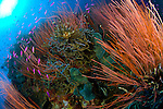 Colony of red whip fan coral (Ctenocella sp.)  with various fish species, Kimbe Bay