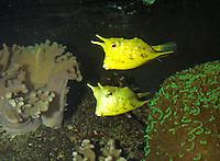 Langhorn-Kofferfisch, Kofferfisch, Kuhfisch, Lactoria cornuta, longhorn cowfish