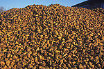 A1X0RC Pile of sugar beet