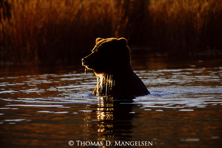 A brown bear takes a swim in Katmai National Park, Alaska.