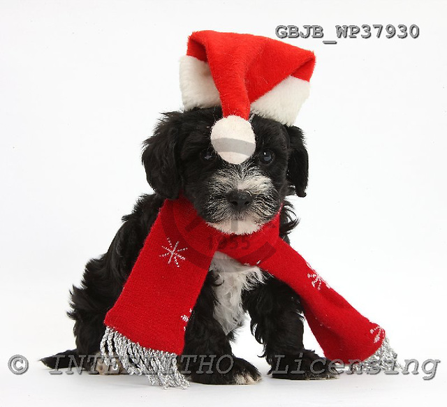 Kim, CHRISTMAS ANIMALS, photos, GBJBWP37930,#XA# stickers