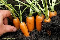HS12-015a  Carrot - harvesting Newburg variety