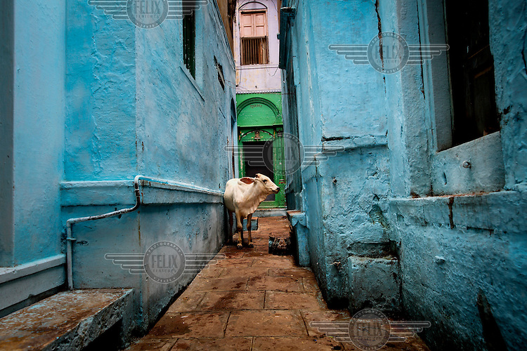 A cow stands in an alleyway between two blue painted buildings.