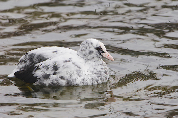 Eurasian Coot, Fulica atra, partial Albino swimming, Rapperswil, Switzerland, Dezember 2005