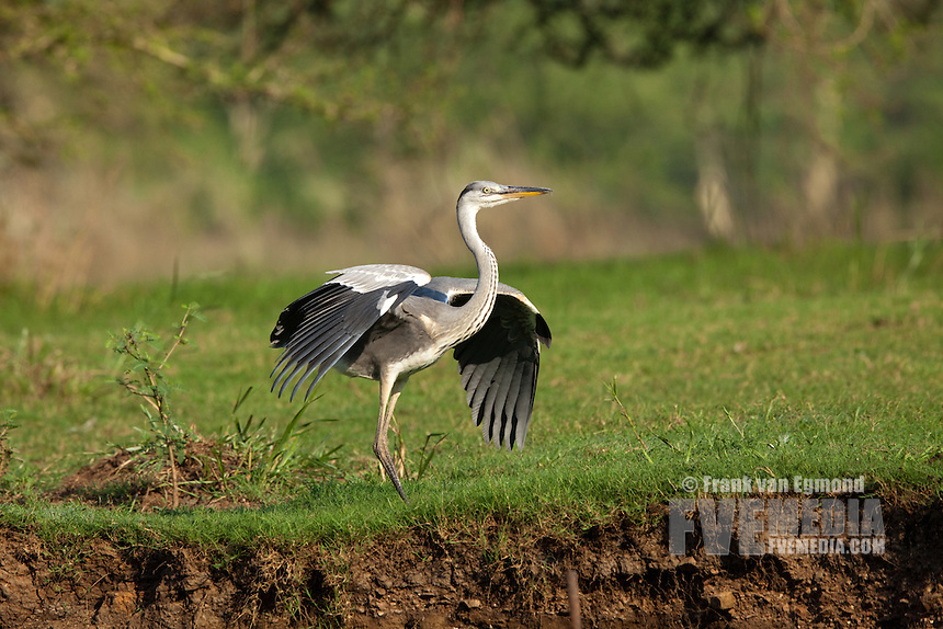 Grey Heron (Ardea cinerea)..Ndumo Game Reserve, Kwazulu-Natal, South Africa. November 2010.