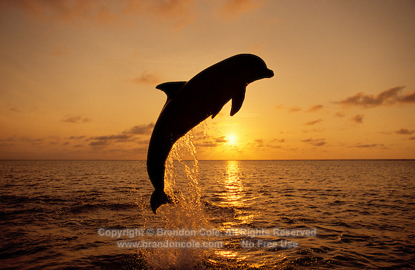my842. Bottlenose Dolphin (Tursiops truncatus) jumping at dusk. Honduras, Caribbean Sea..Photo Copyright © Brandon Cole. All rights reserved worldwide.  www.brandoncole.com