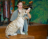 white Bengal tiger, white Indian tiger, Panthera tigris tigris, cub at animal show, feeding on bottle, tiger is used for an educational discussion by trainer, chained, (c), Miami, Florida