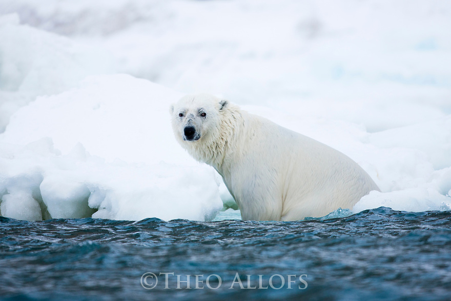 Norway, Svalbard, polar bear sitting in ice water next to frozen shore after a long swim across a fjord
