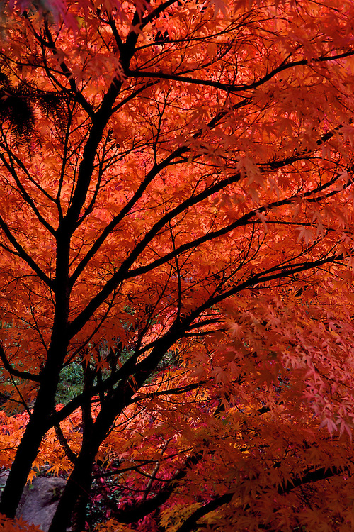 Backlit branches in fall of Japanese Maple (Acer palmatum 'Nishiki Momiji') at Van Dusen Botanical Garden, Vancouver, BC.