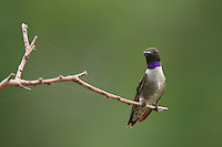 Black-chinned male Hummingbird with spider web laced branch.