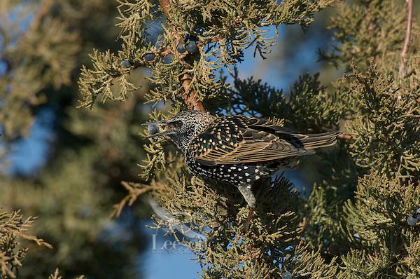 European Starling (Sturnus vulgaris) eating juniper berries.  Western U.S., November.