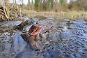 Amplectant pair of Common Frogs {Rana temporaria} amongst mass of spawn in a pond. Peak District National Park, Derbyshire, UK. March.