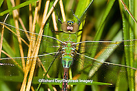 06361-00705 Common Green Darner (Anax junius) dragonfly female Marion Co.  IL