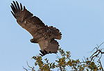 Martial Eagle (Polemaetus bellicosus) female flying, Kruger National Park, South Africa