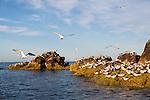 Elegant terns and other sea birds gathering on Isla Rasa, Baja California Mexico