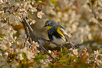 Yellow-rumped Warbler (Dendroica coronata) in maple tree.  Pacific NW, April. (This is sometimes referred to as an Audubon's Warbler).