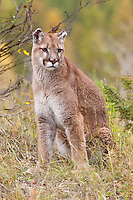Mountain Lion sitting near the edge of a hill in fall colours - CA