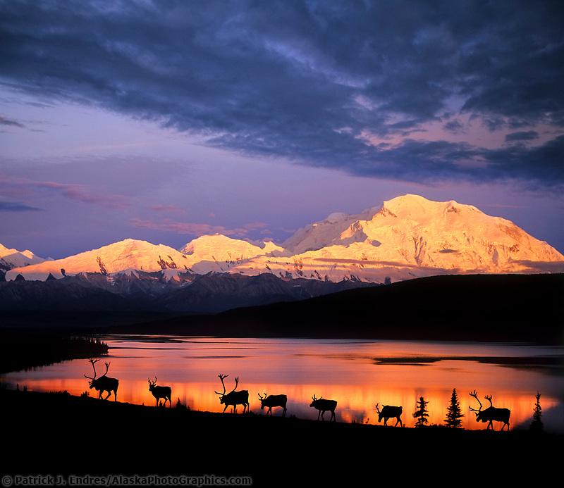 DIGITAL COMPOSITE IMAGE: Caribou, Wonder Lake, Alpenglow on north face of Denali, Denali National Park, Alaska