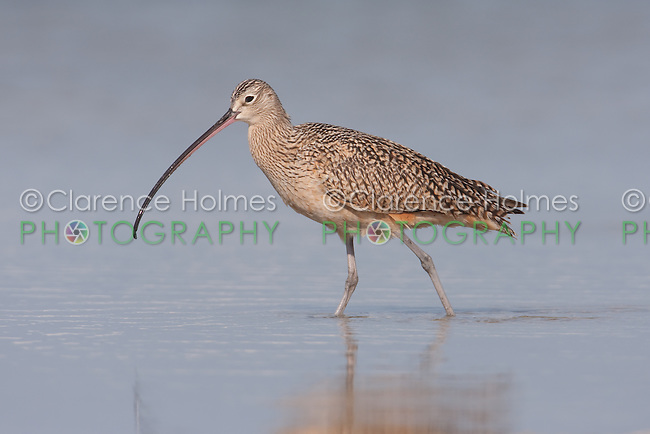 Long-billed Curlew (Numenius americanus) foraging for food at Fort Desoto Park, near St. Petersburg, Florida.