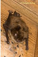 MA20-599z  Little Brown Bats, Myotis lucifugus