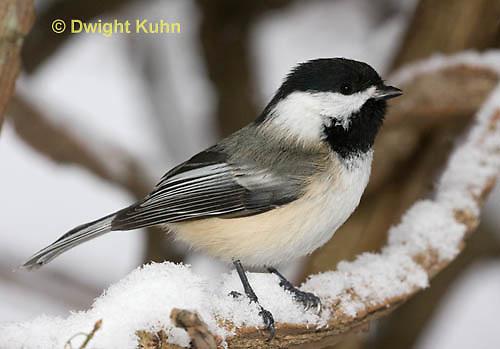 1J04-587z  Black-capped Chickadee, in winter snow,  Poecile atricapillus or Parus atricapillus