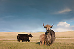 Domestic Yaks, Eastern Steppe, Mongolia