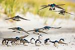 Tree Swallows on Beach