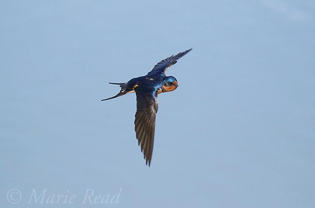 Barn Swallow (Hirundo rustica) adult in flight over water, Bear River Migratory Bird Refuge, Utah, USA