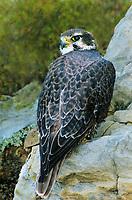 528000004 a captive prairie falcon falco mexicanus perches on a rock ledge in central colorado united states