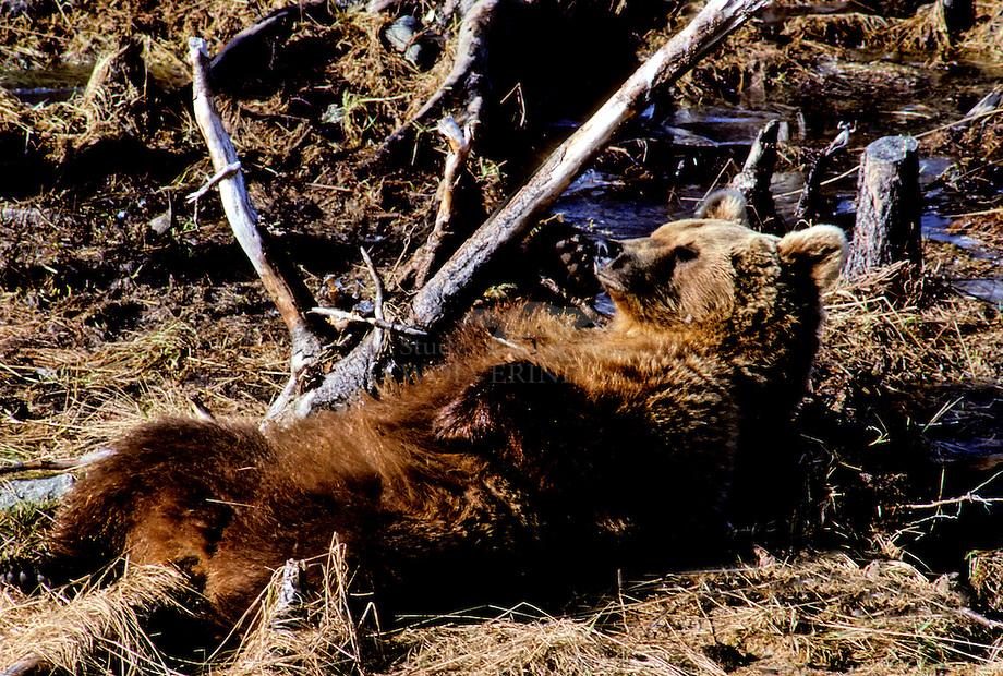 Bruine beer (Ursus arctos) zonnend in de toendra