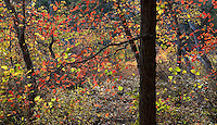 Native Tupelo trees (Nyssa sylvatica) fall foliage by Blackwater Pond, Cape Cod National Seashore, Massachuesettes