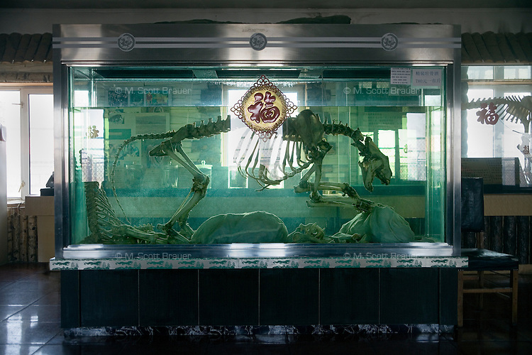 A tiger skeleton stands in a vat of tiger wine at the Siberian Tiger Park in Haerbin, Heilongjiang Province, China. The wine is said to imbue drinkers with various health benefits such as strength and virility.  The wine sells for 780 renminbi (about US$110.00) per half kilogram of liquid. The Siberian Tiger Park is described as a preserve to protect Siberian tigers from extinction through captive breeding.  Visitors to the park can purchase live chickens and other meat to throw to the tigers.  The Siberian tiger is also known as the Manchurian tiger.
