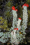 Toy Soldier Lichens (Cladonia bellidiflora), Mt. Hood National Forest, Oregon, USA